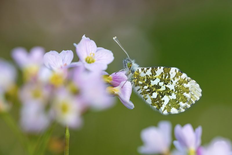 adult female orange-tip butterfly
