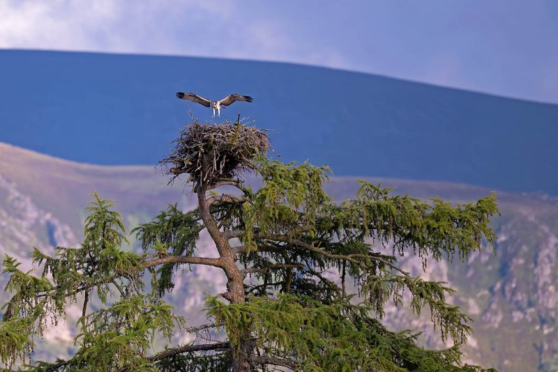 Osprey landing in nest in tree