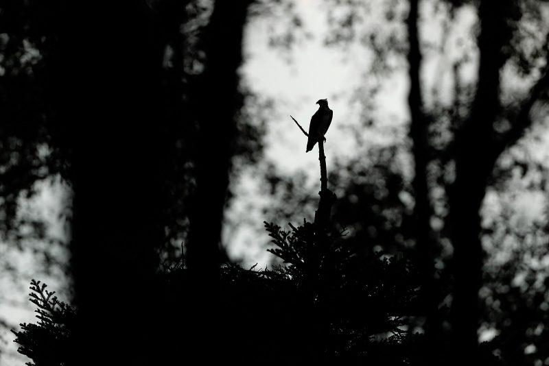 Osprey sat in tree