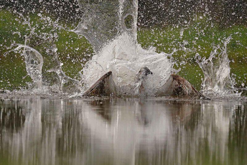 Splash from Osprey hitting the water