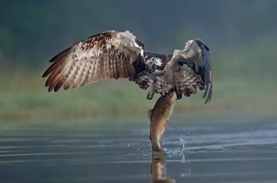 how-to-photograph-osprey-3