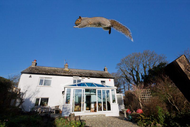 Grey squirrel jumping