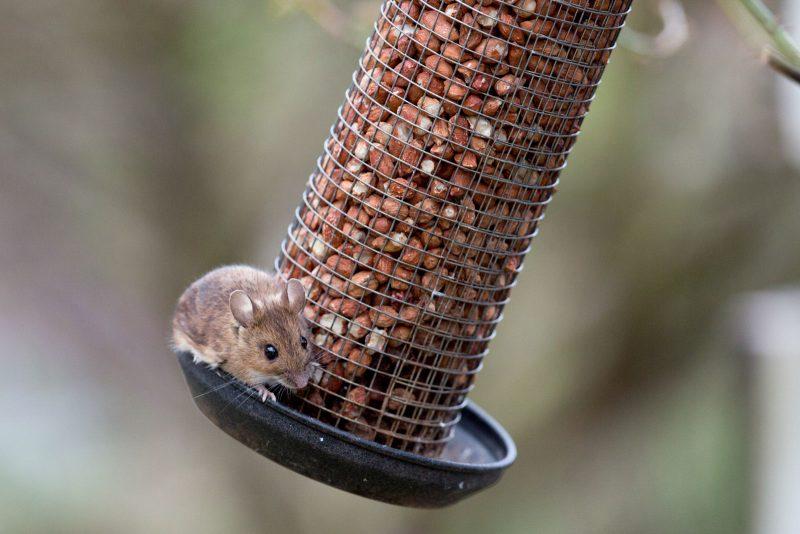 Wood mouse on bird feeder