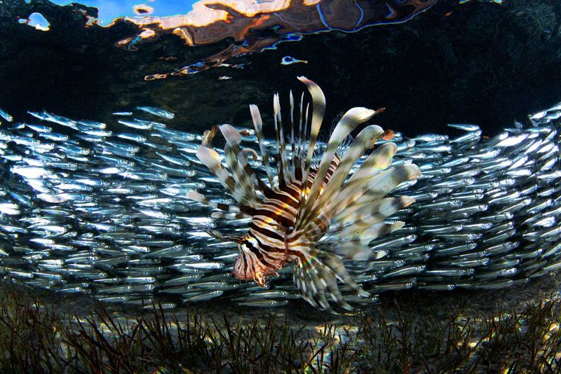 lion fish photographed underwater