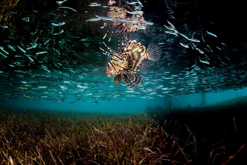 Lion fish wide shot underwater photograph