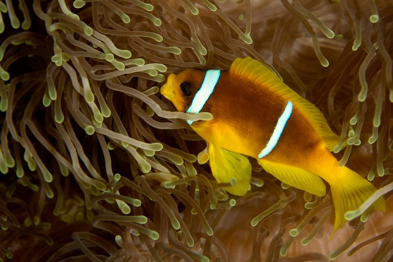 Clown fish photography