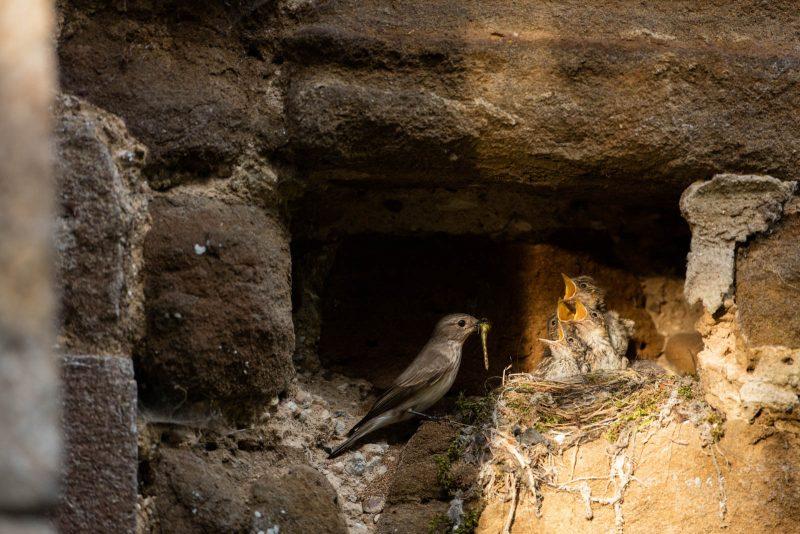 Flycatcher nest in a church wall