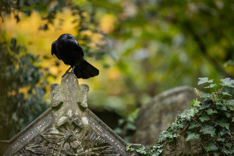 Crow in graveyard