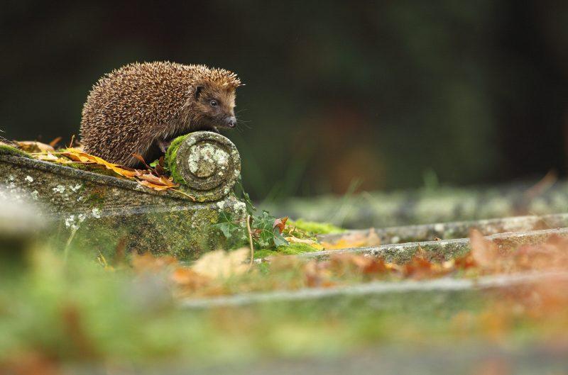 Hedgehog in a graveyard