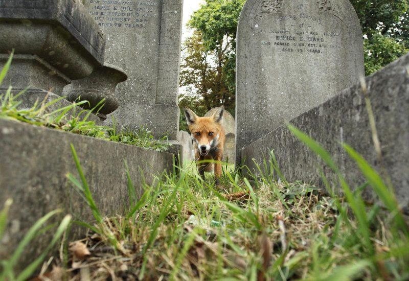 Fox between graves