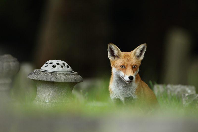 Fox in cemetery
