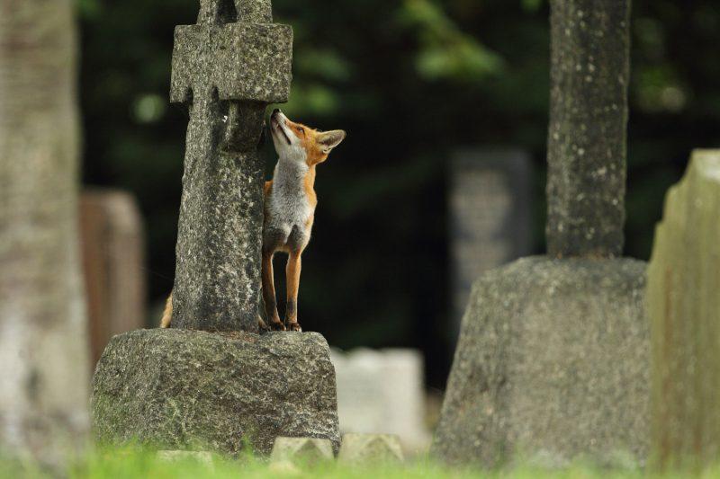Fox on a gravestone