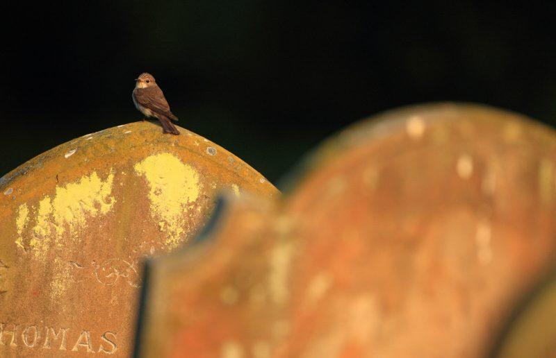Flycatcher on headstone