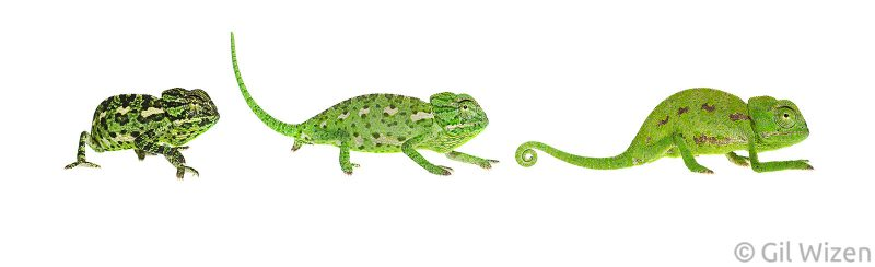 composite image chameleon on white background