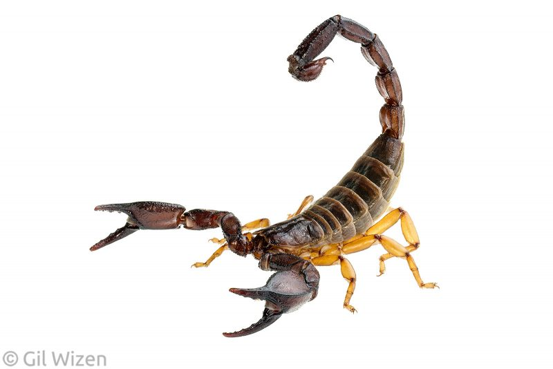 Scorpian white background