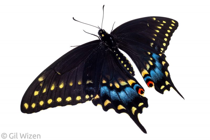 black swallowtail butterfly white background