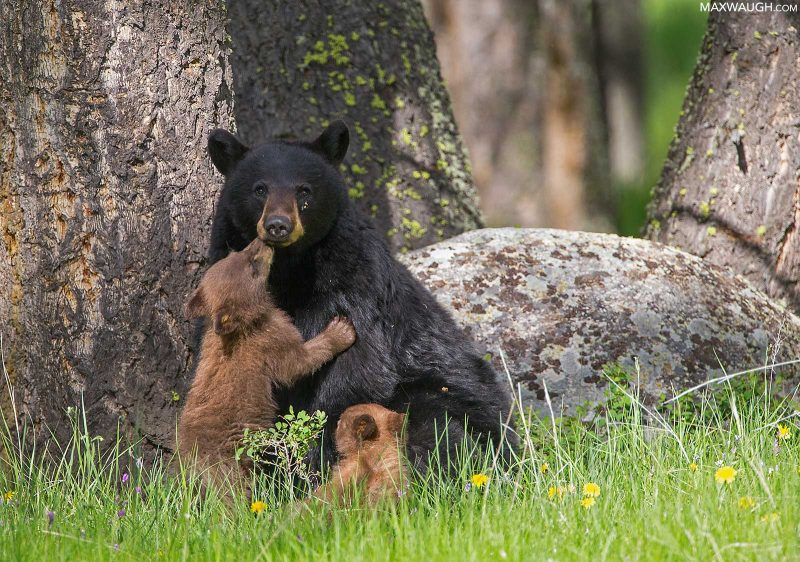 Bear in Yellowstone National Park