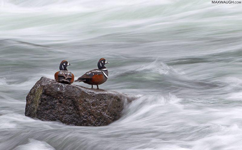 Harlequin Ducks in Yellowstone National Park