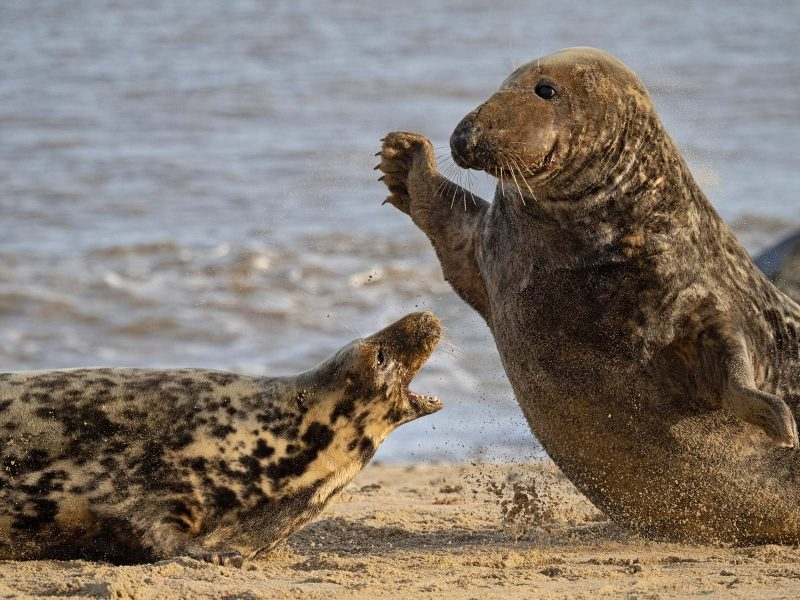 Action shot of seals fighting photographed with Olympus 150-400mm