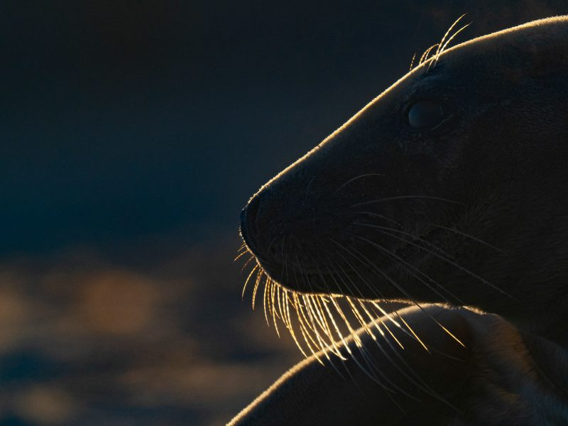 Backlit Seal photographed with Olympus 150-400mm