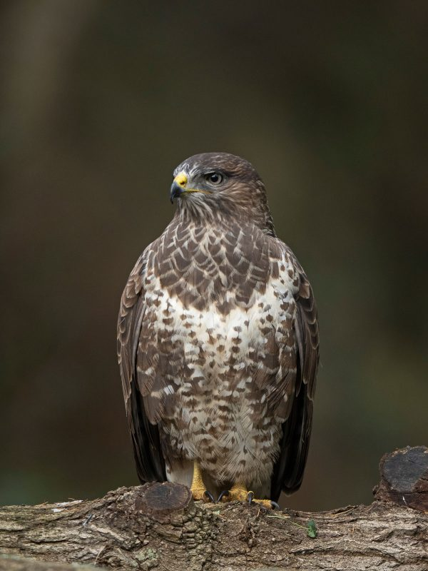 Buzzard photographed with Olympus 150-400mm