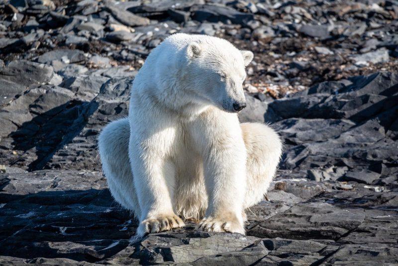 Polar bear sat on rocky shore