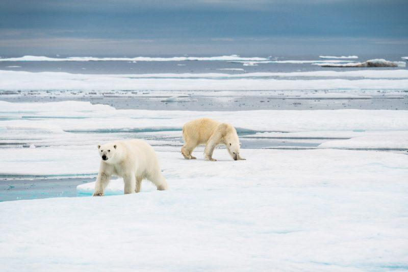 Two polar bears wandering the ice