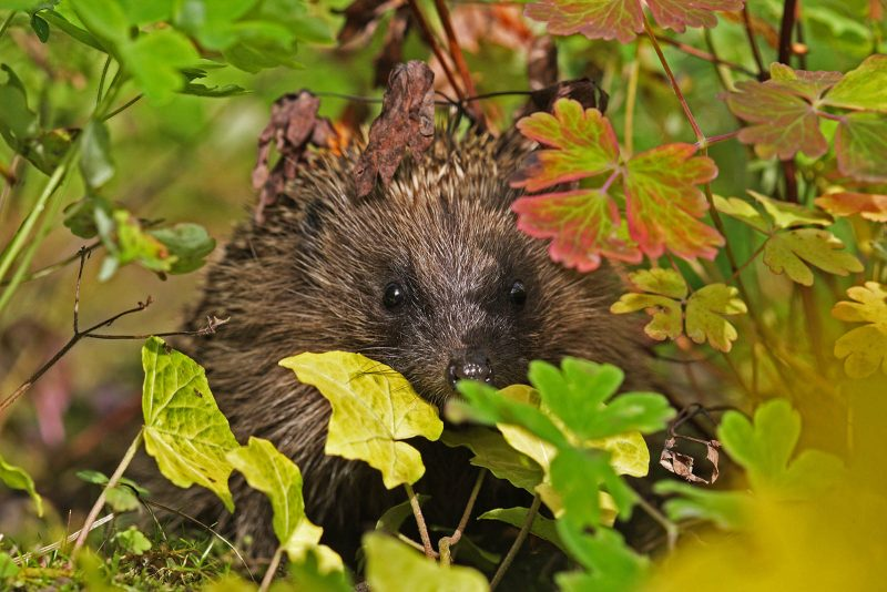 Hedgehog and green leaves