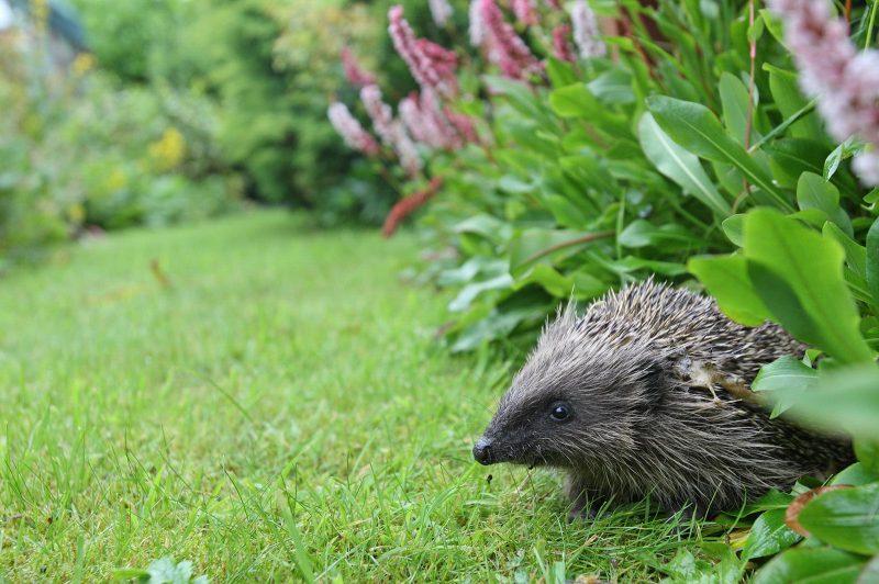 Rescue hedgehog in a garden