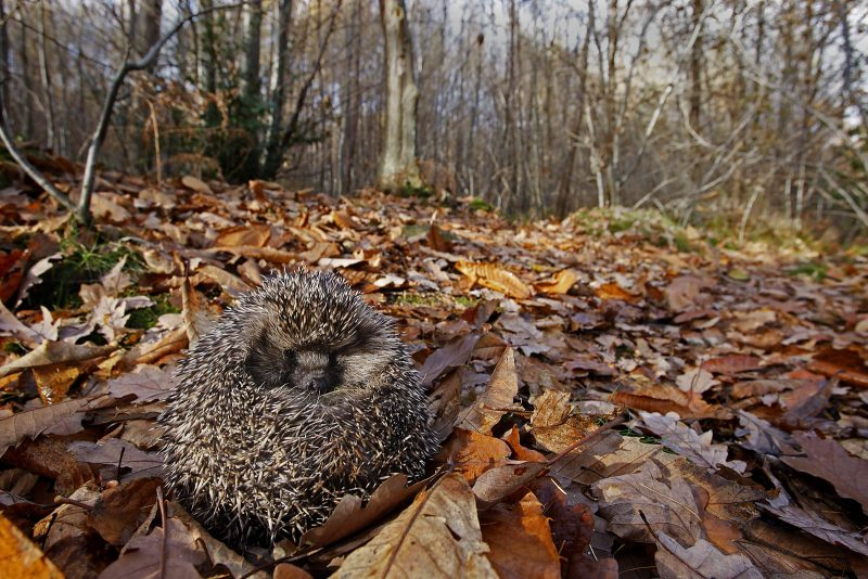 Wide angle shot of a hedgehog in a woods
