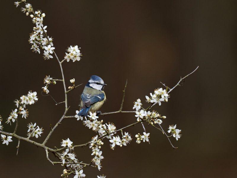 Blue tit on spring blossom