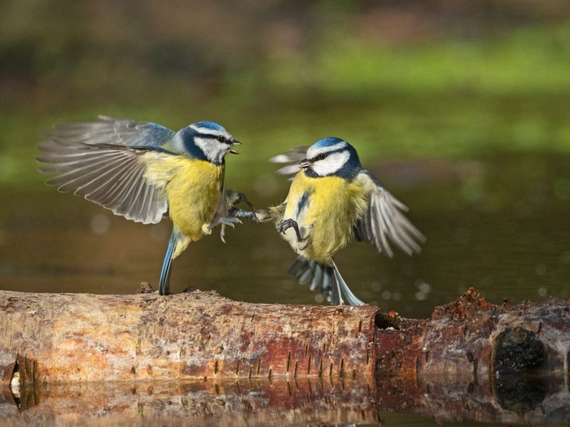 Blue tits fighting