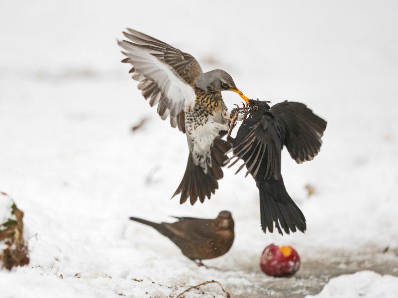 Birds fighting in snow