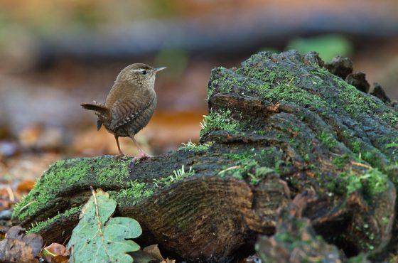 Wren Troglodytes troglodytes Norfolk October