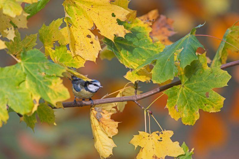 Blue Tit among autumn foliage
