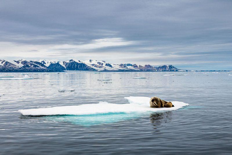 Walrus on sea ice