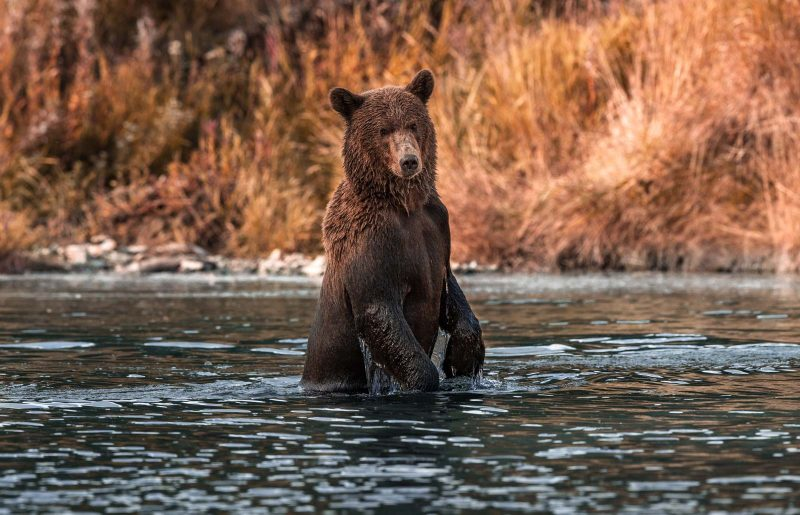 A young brown bear stands up as he crosses a river during sunset.