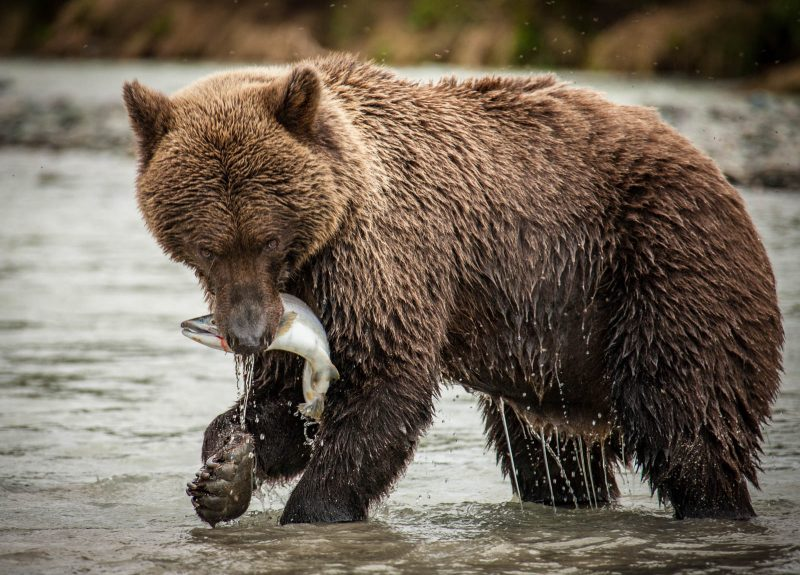 A brown bear snatches a prized salmon from a river