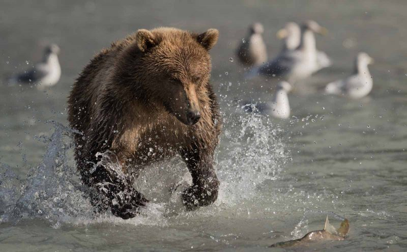 Brown bear chases after salmon