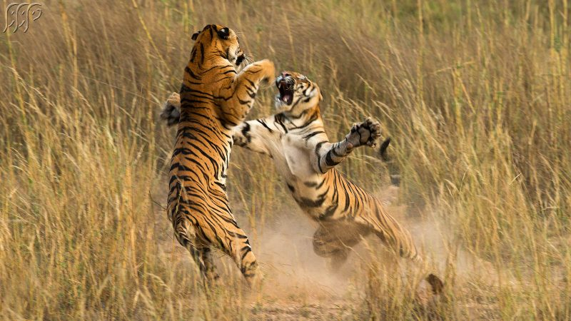 Fighting tigers photographed by Sudhir Shivaram