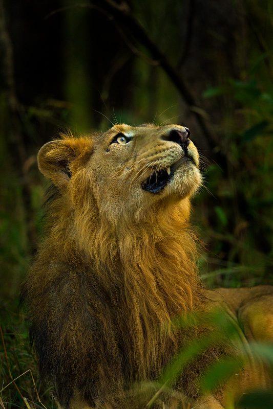 Lion portrait photographed by Sudhir Shivaram