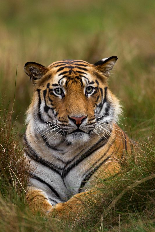 Tiger portrait photography by Sudhir Shivaram