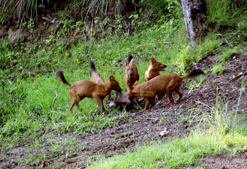 wild dogs photographed by Sudhir Shivaram
