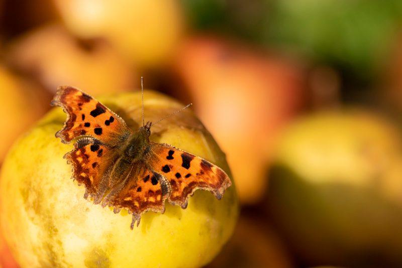 Butterfly on an apple