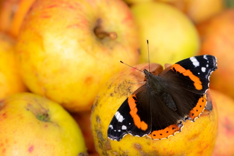 Butterfly on pile of apples