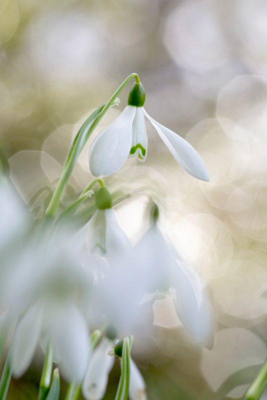 Snowdrop with bokeh