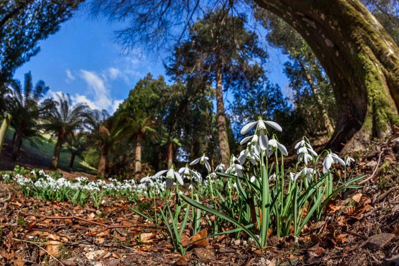 Snowdrops at Trebah Gardens