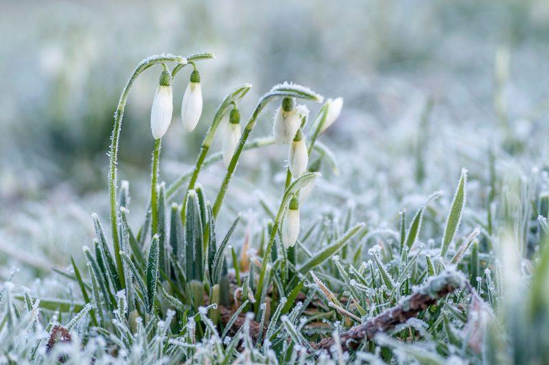 Frosty snowdrops