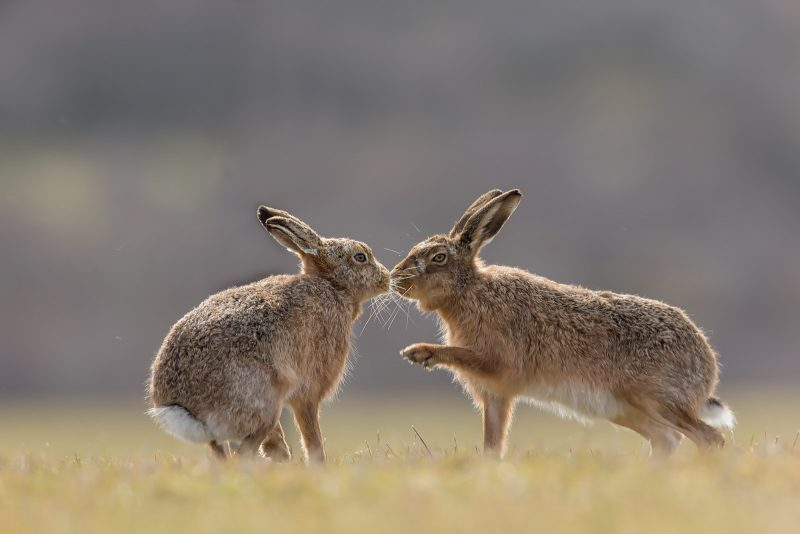 Brown Hare interacting