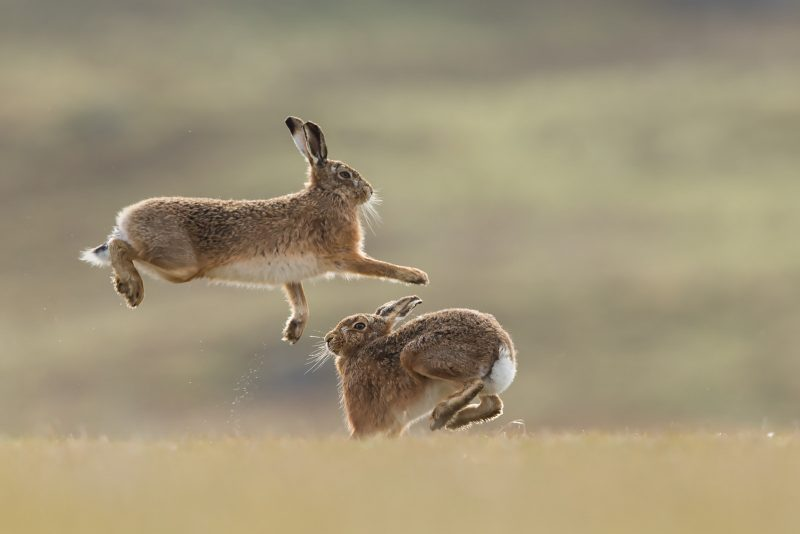 Brown Hare action shot of boxing